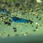 Bubba's Shrimps Blue rili