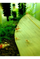 Bubba's Shrimps Caridina Garnalen - Kristalrood SSS