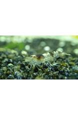Bubba's Shrimps Caridina cf. breviata - Hummel Black & White