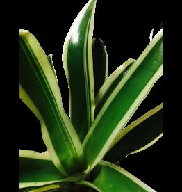 NLS Neoregelia variegata