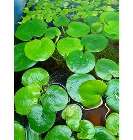 Bubba's Plants Limnobium laevigatum