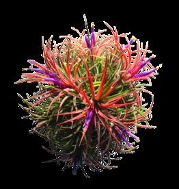 Tillandsias Ionantha-cluster