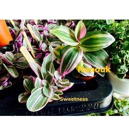 NLS Tradescantia Sweetness