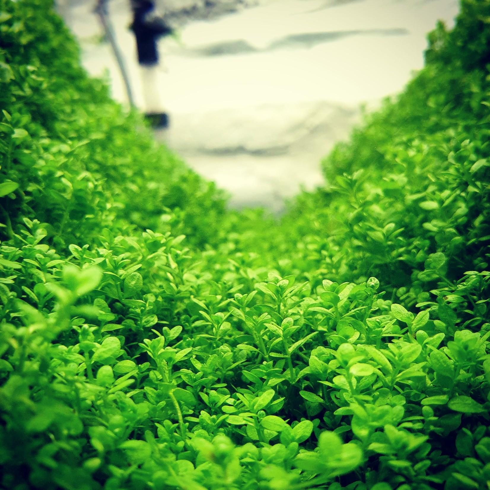 Bubba's Plants Hemianthus callitrichoides cuba