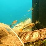 Bubba's Fishs Apistogramma Viejeta II