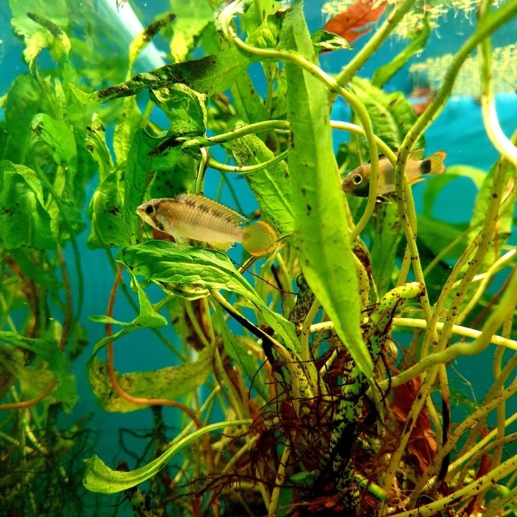 Bubba's Fishs Apistogramma nijsseni