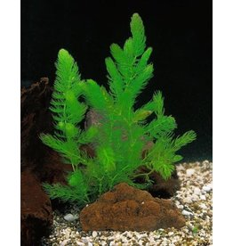 Bubba's Plants Ceratophyllum demersum