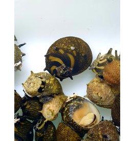 Bubba's Snail Clithon subgranosa