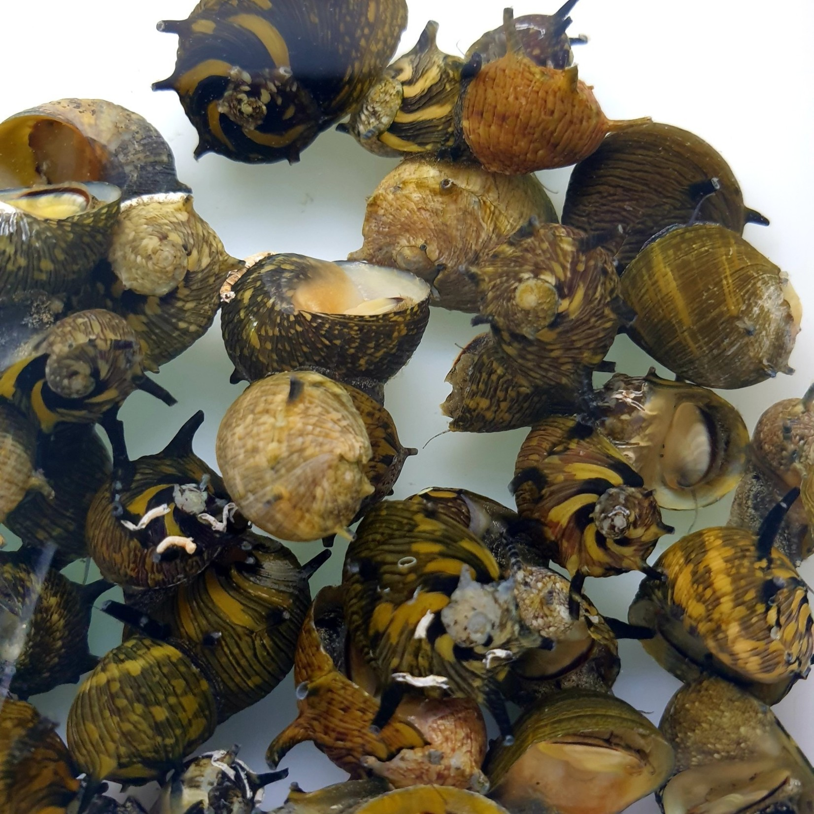 Bubba's Snail Clithon subgranosa «Sun»