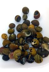 Bubba's Snail Clithon Sowerbianum
