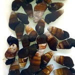 Bubba's Snail Tylo sp. Mini Zwart