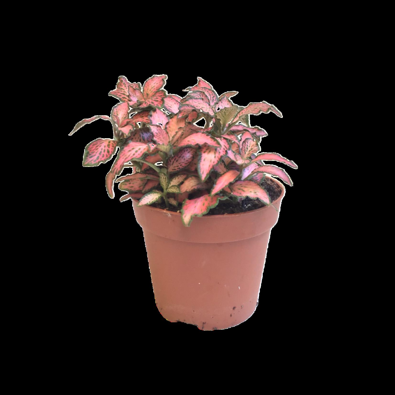 Bubba's Plants Fittonia Mix