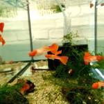 Bubba's Fishs Guppy koi