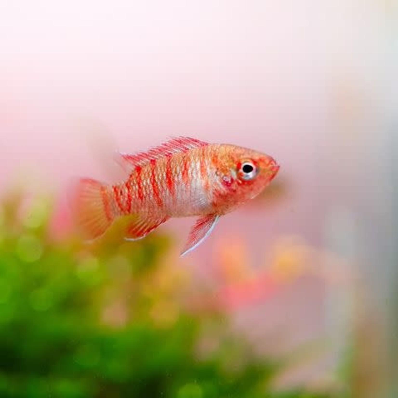 """Bubba's Fishs Badis - Dario Dario """"Scarlet"""""""