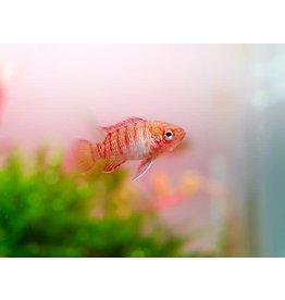 Bubba's Fishs Dario Dario