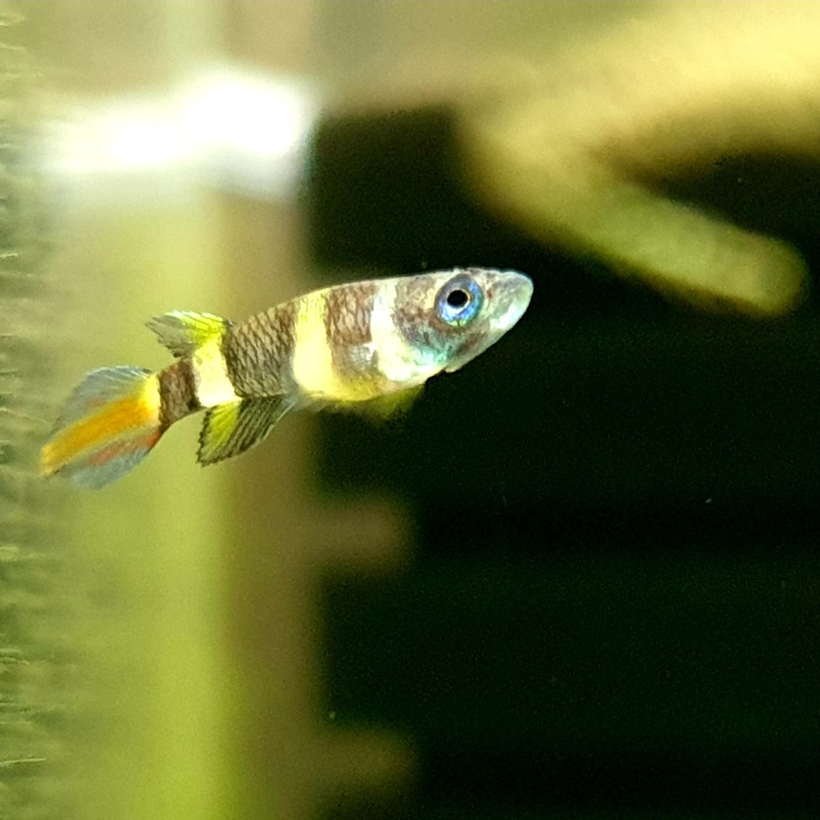 Bubba's Fishs Killi clown - Pseudepiplaty annulatus