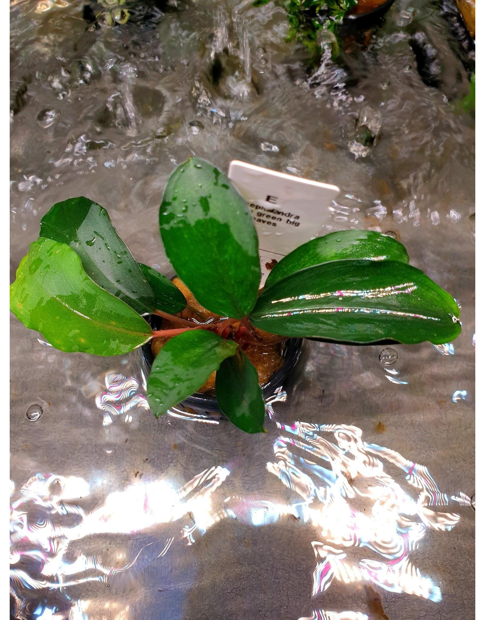 Bucephalandra Thaia groen groot blad