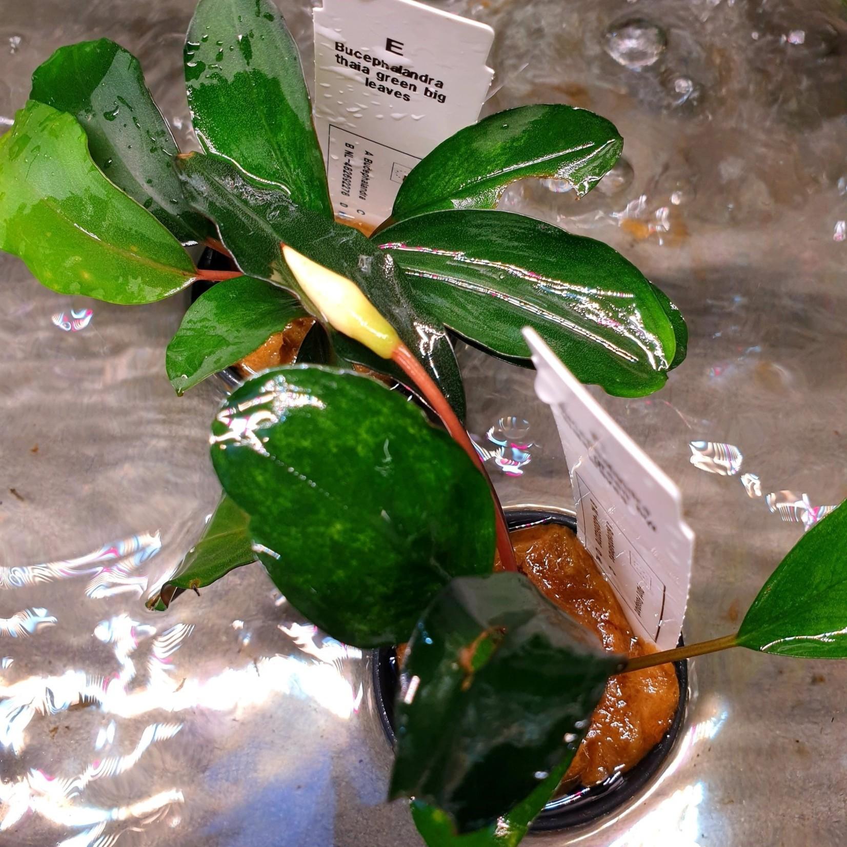 Bucephalandra Thaia green big leaves