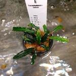 Bucephalandra Velvet