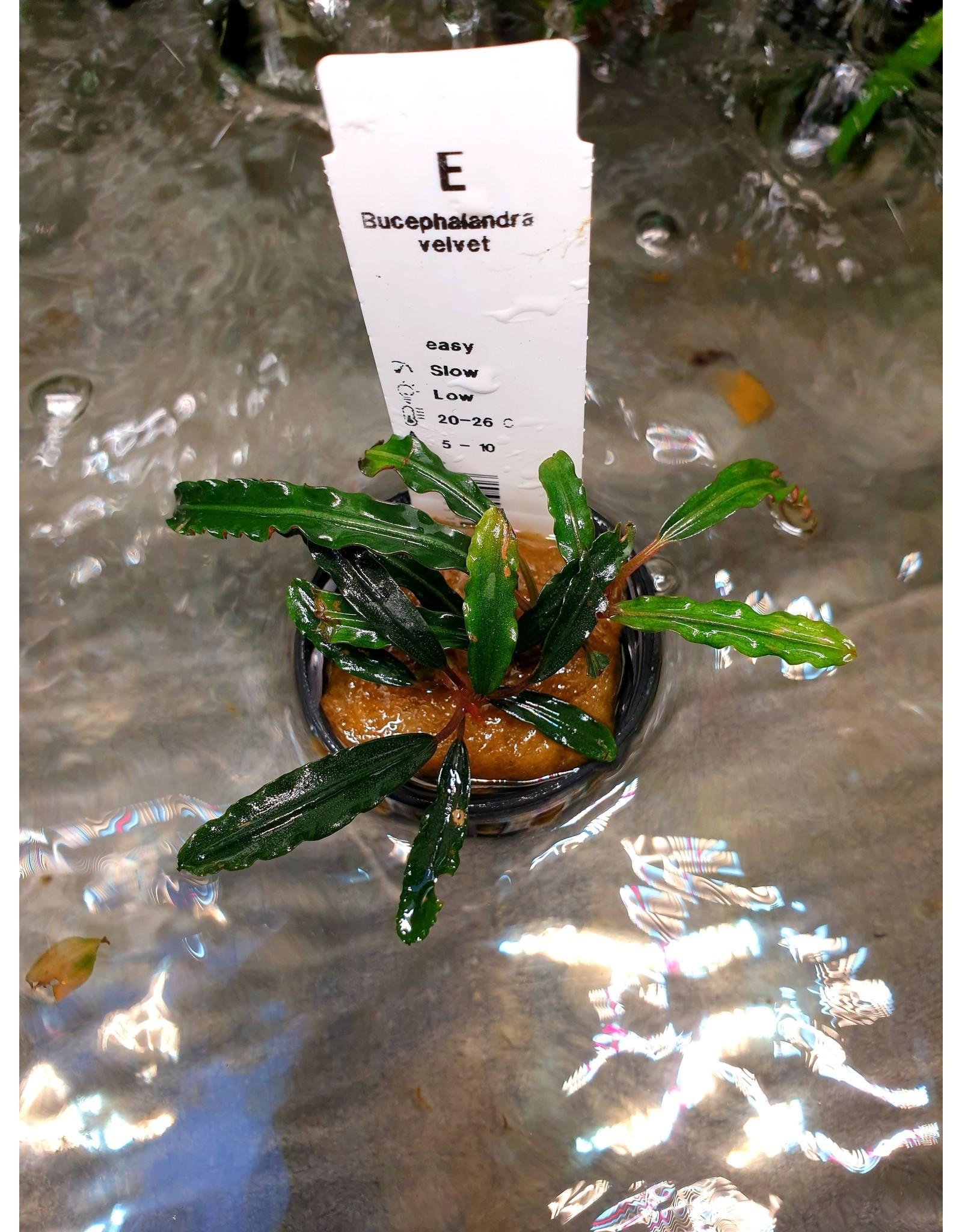 Bucephalandra Fluweel
