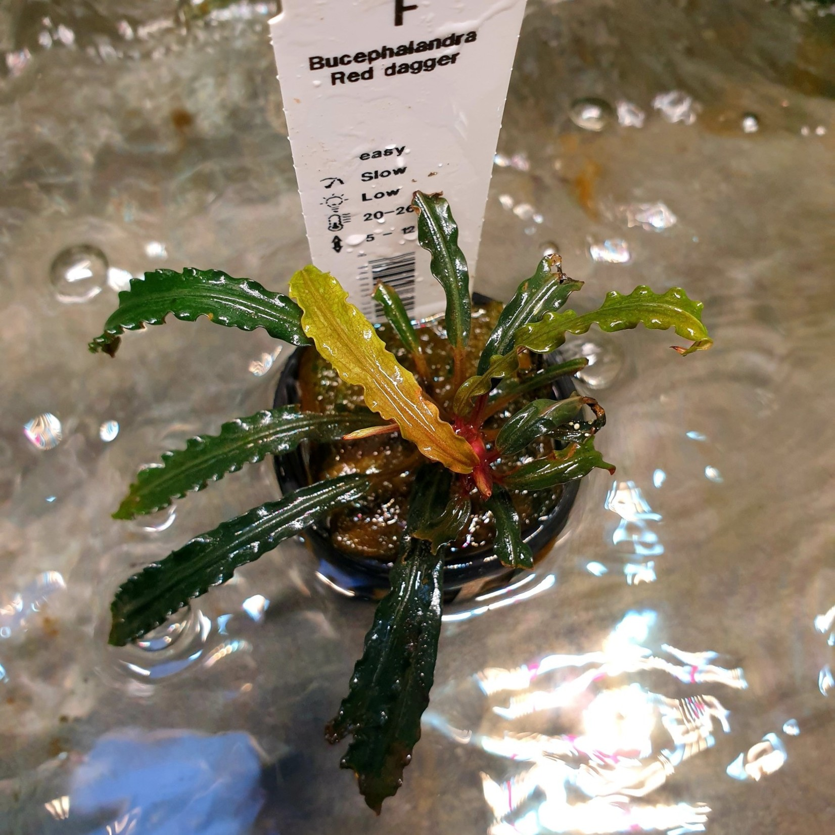 Bucephalandra Rode dolk