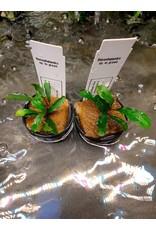Bucephalandra sp lo groen