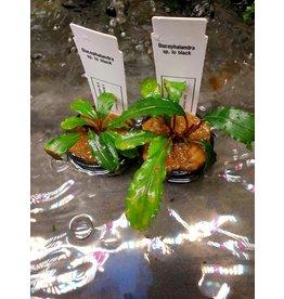 Bucephalandra sp. lo zwart