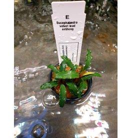 Bucephalandra Fluwelen lood entihong