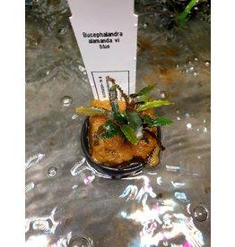 Bucephalandra alamanda VI blauw
