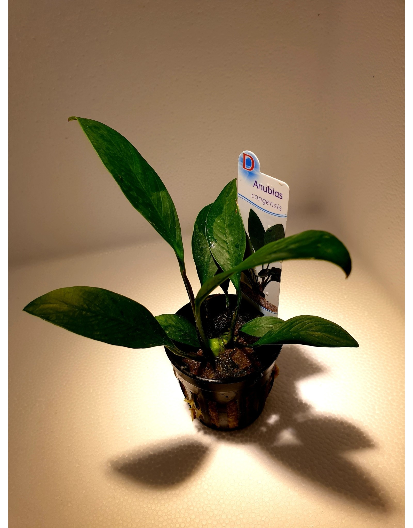 Bubba's Plants Anubias congensis