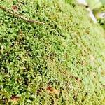 NLS Fresh plagiothecium mousse