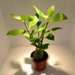 NLS Hydnophytum papuanum