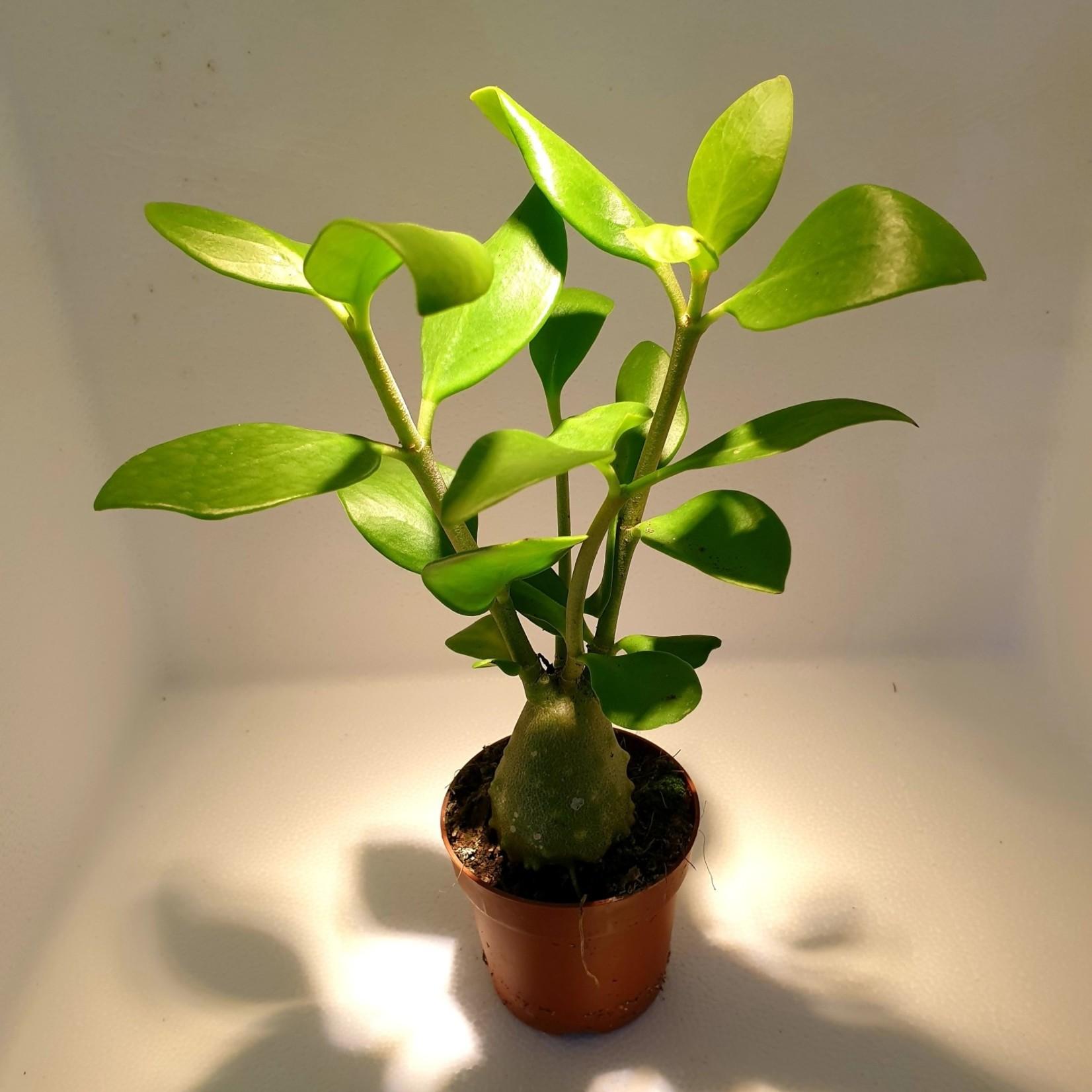 NLS Myrmecophytic plant - Hydnophytum papuanum