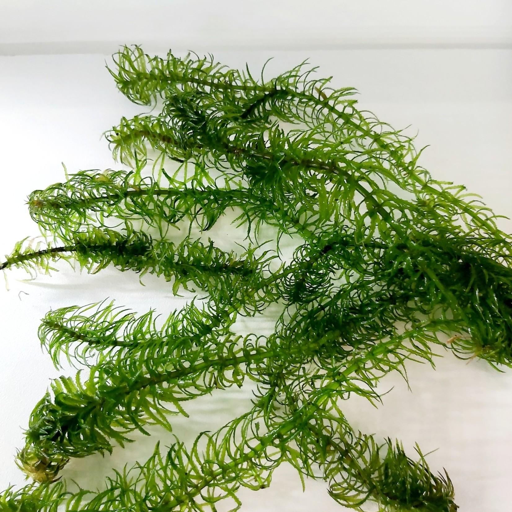 Bubba's Plants Najas - Anacharis smal blad