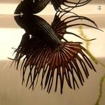 Bubba's Fishs CT Black