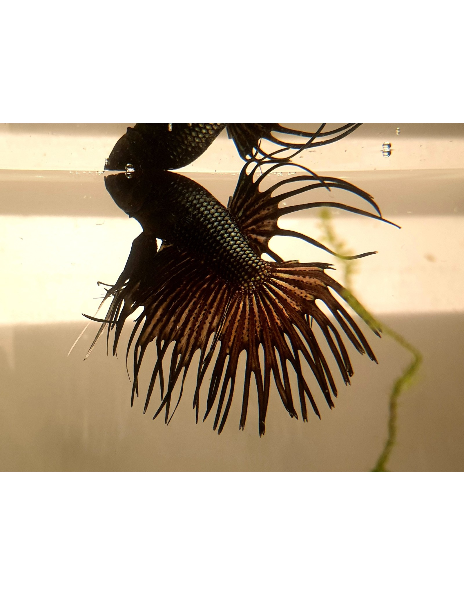 Bubba's Fishs Betta Crowntail Black