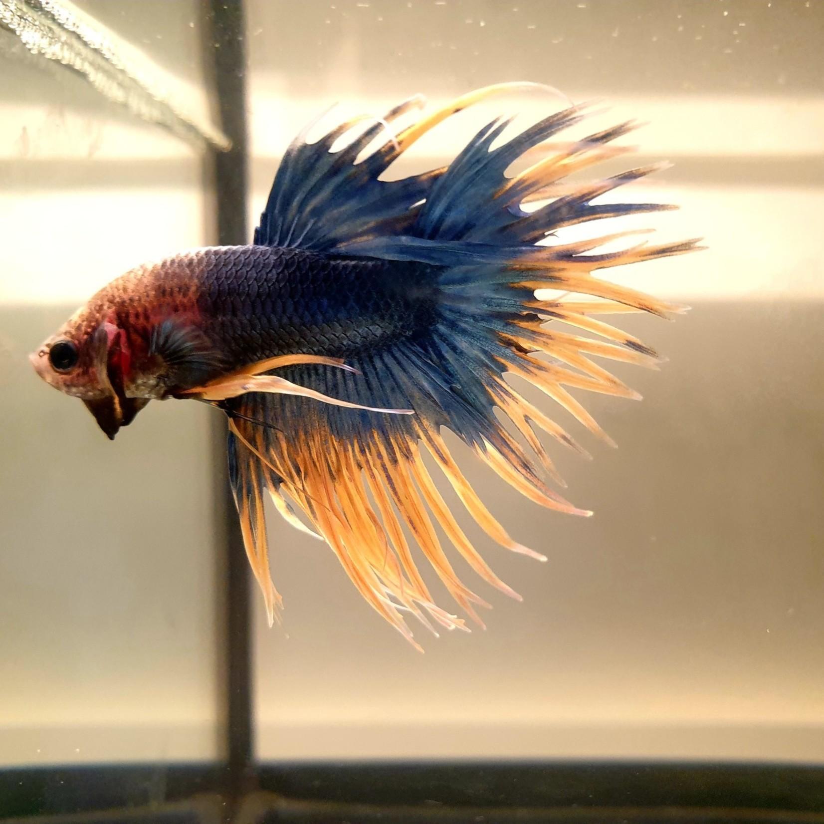 Bubba's Fishs Betta Crowntail fancy