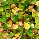 Bubba's Plants Phyllanthus fluitans
