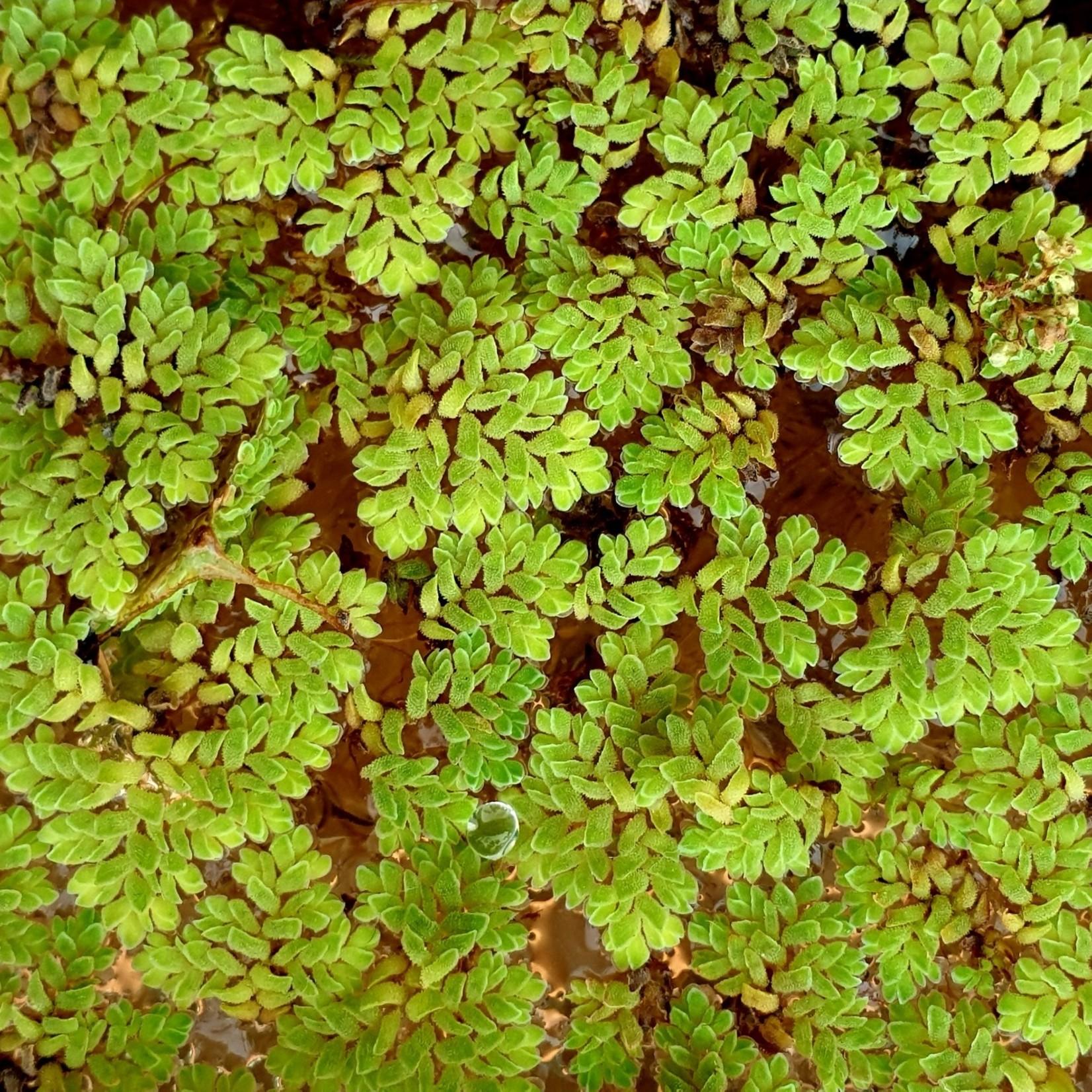 Bubba's Plants Azolla