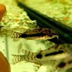 Bubba's Fishs Corydoras Habrosus