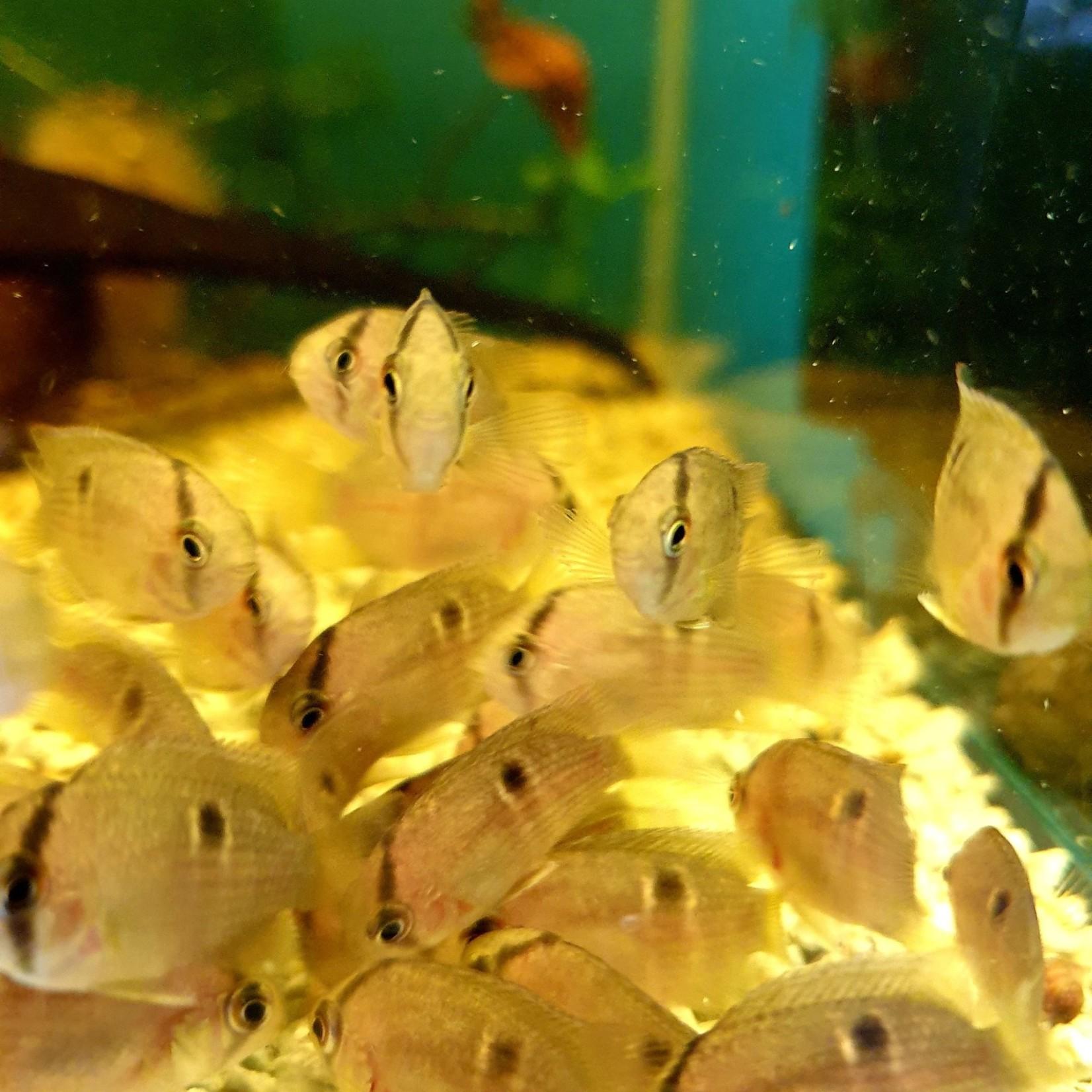 Bubba's Fishs Cleithracara maronii 3-4cm