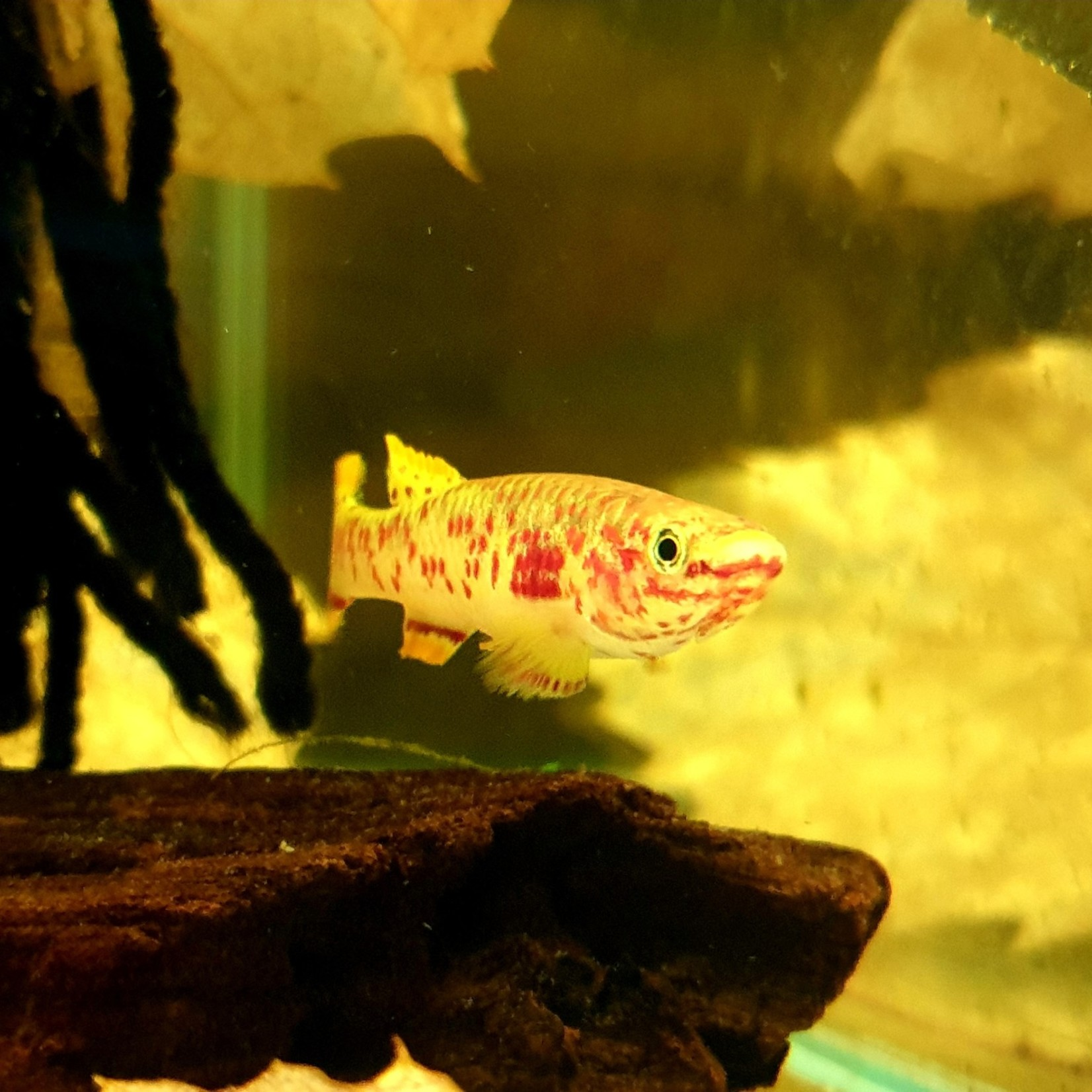 Bubba's Fishs Killie Aphyosemion Gardneri Gold