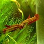 Bubba's Fishs Betta rutilans