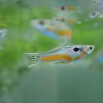 Bubba's Fishs Guppy kardinaal