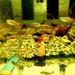 Bubba's Fishs Tanichthys albonubes
