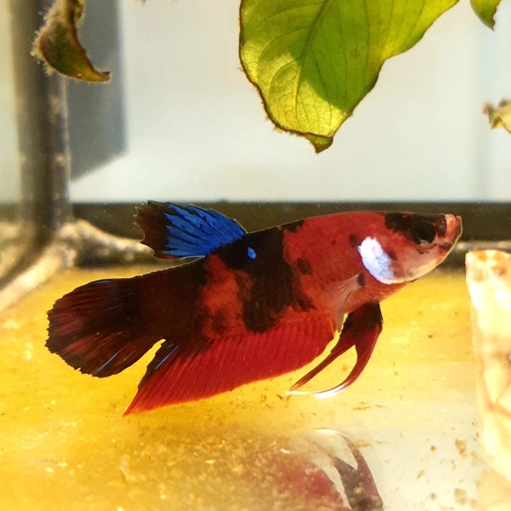 Bubba's Fishs Betta Plakat Koi Galaxy