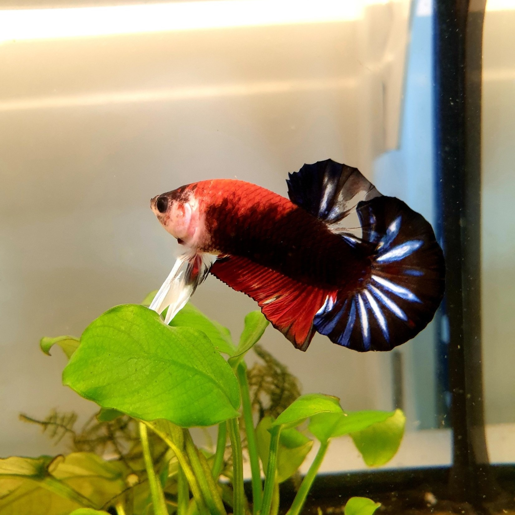 Bubba's Fishs Betta Plakat Hellboy