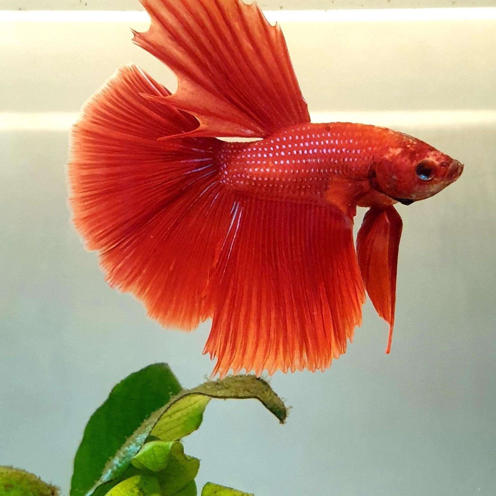 Bubba's Fishs Betta Halfmoon speciale kleur