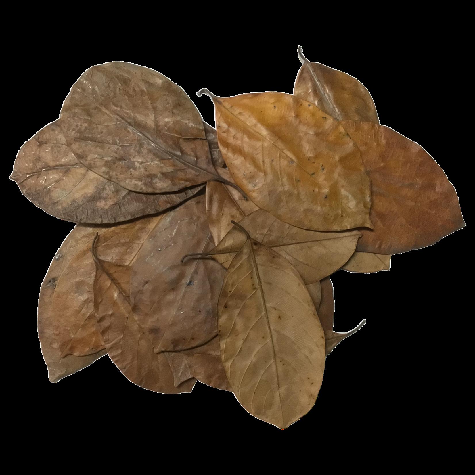 Produits naturels Jackfruit bladeren