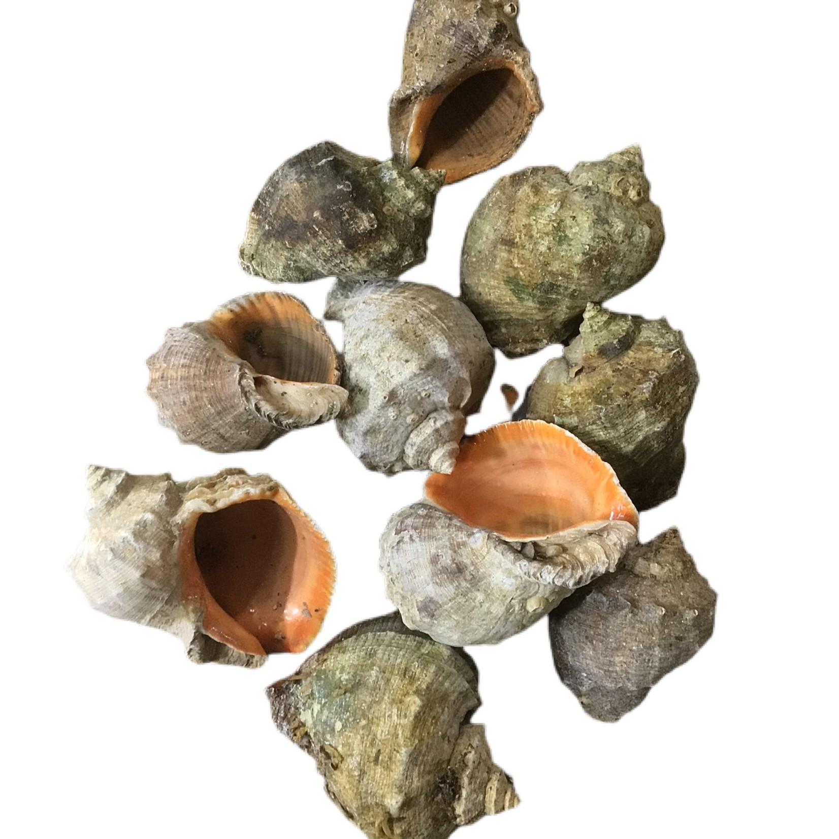 Bubba Decoratieve schelpen (1 st)